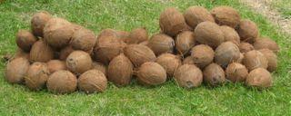 Fundraising Coconuts